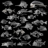 Skeleton fishes