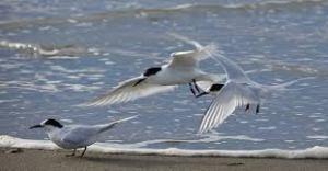 broken tern