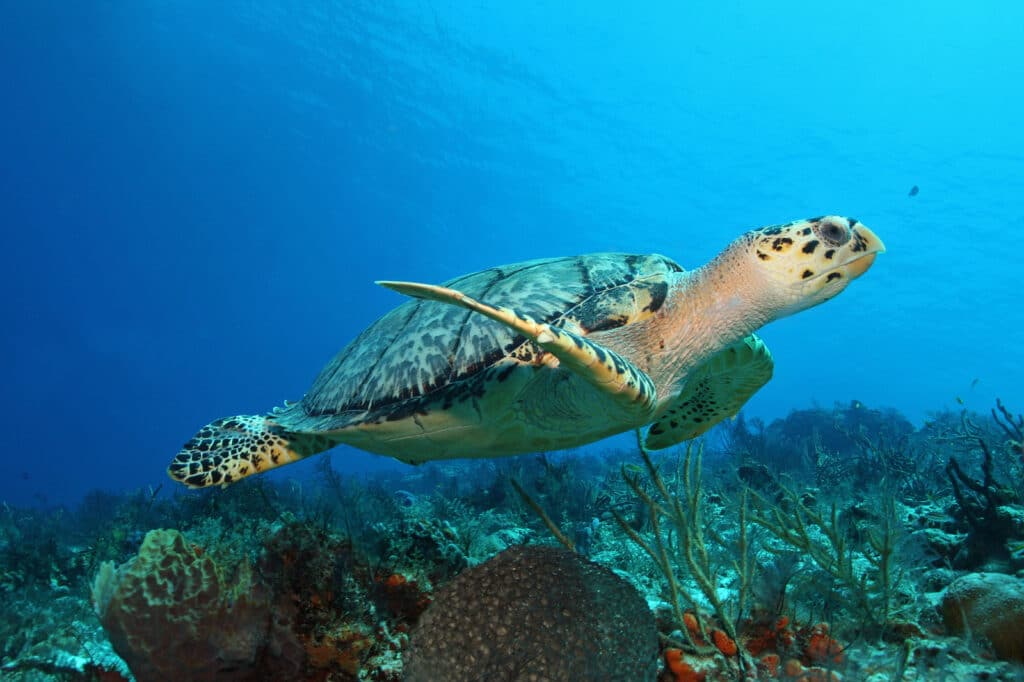 Hawksbill Turtle (Eretmochelys imbricata) swimming over a coral reef - Cozumel,