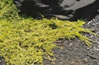 Jaowiec pocy Golden Carpet Juniperus horizontalis cena ...