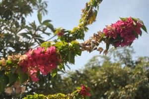 Zweig Bougainvillie, mit Blüten, zum Teil schon verblüht