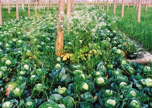 Blumenkohl und Gelbwurz zwischen Pappeln