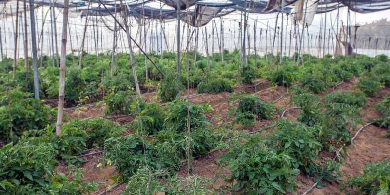 Tomaten und Paprikapflanzen im Gewächshaus