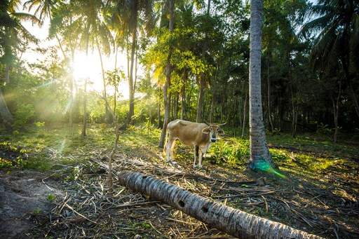 Happy cow in Haitian forest