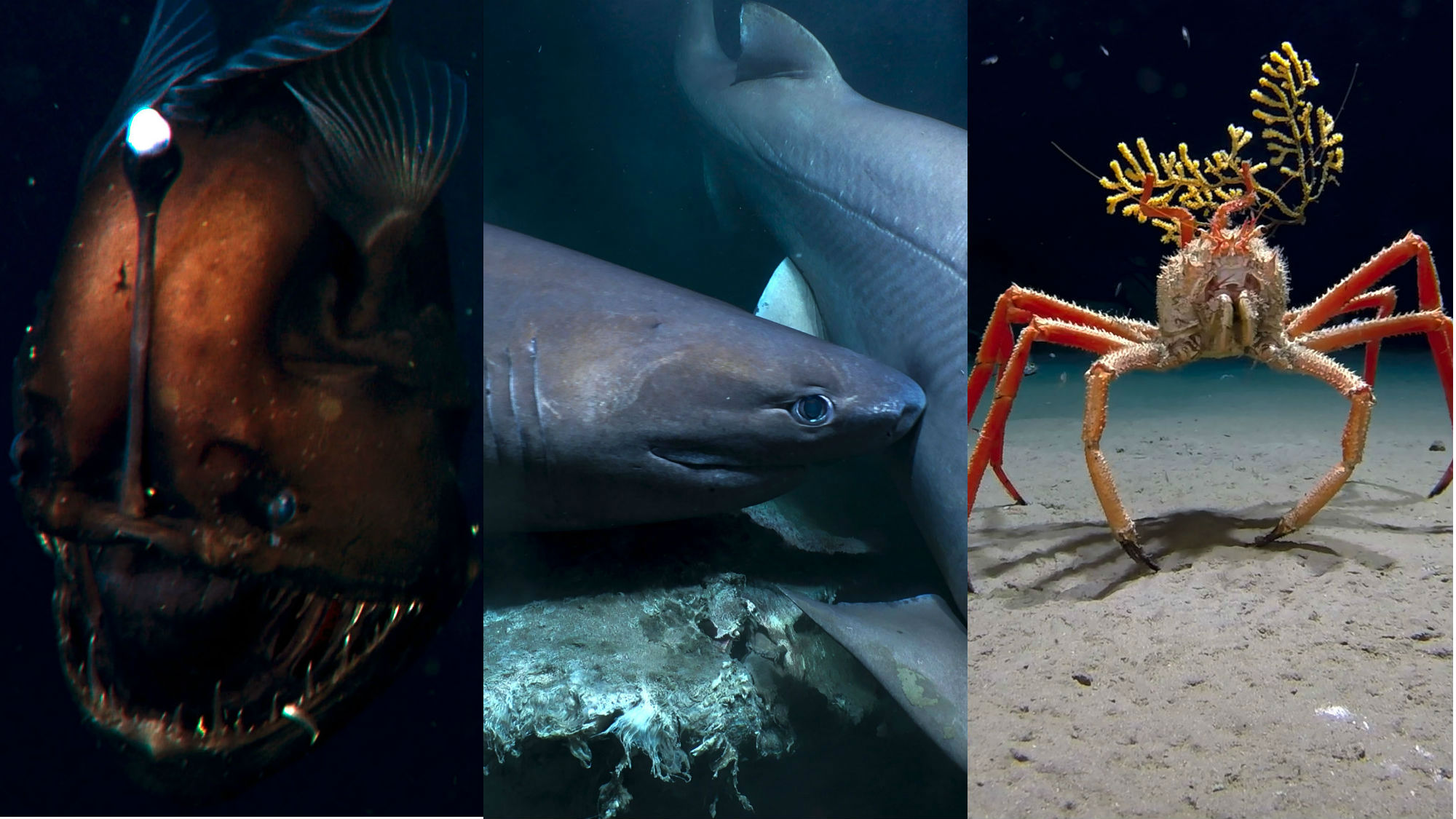 All The Animals In Blue Planet 2 The Deep Order Of Freakiness