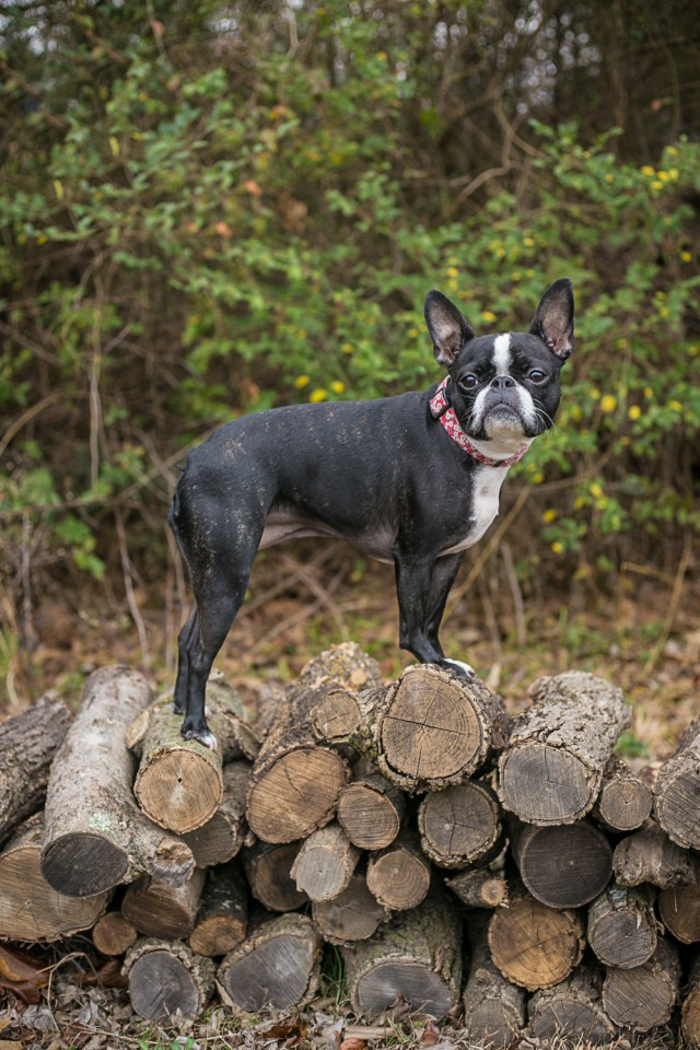 Nellie the boston terrier, french bulldog mix, standing outside on logs
