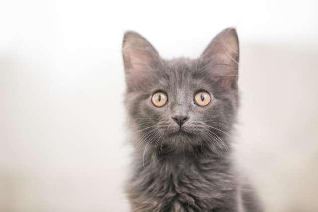 close up of grey kitten, minneapolis cat photographer