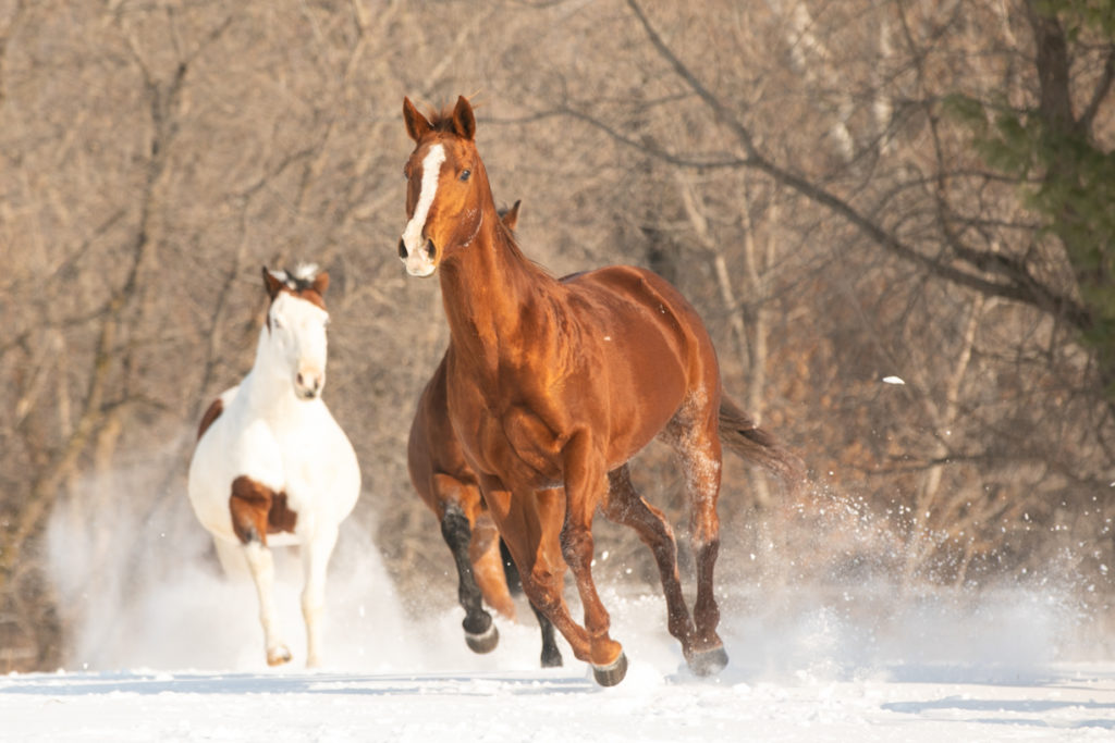 horses galloping through the snow