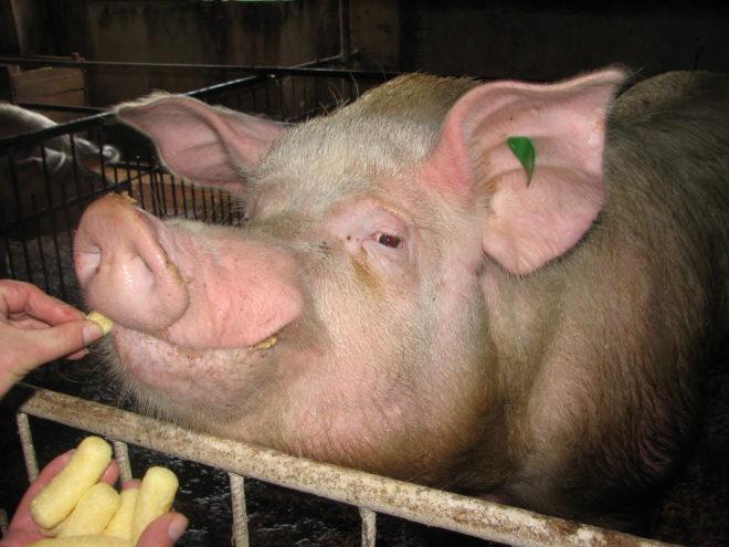 кастрированная свинья