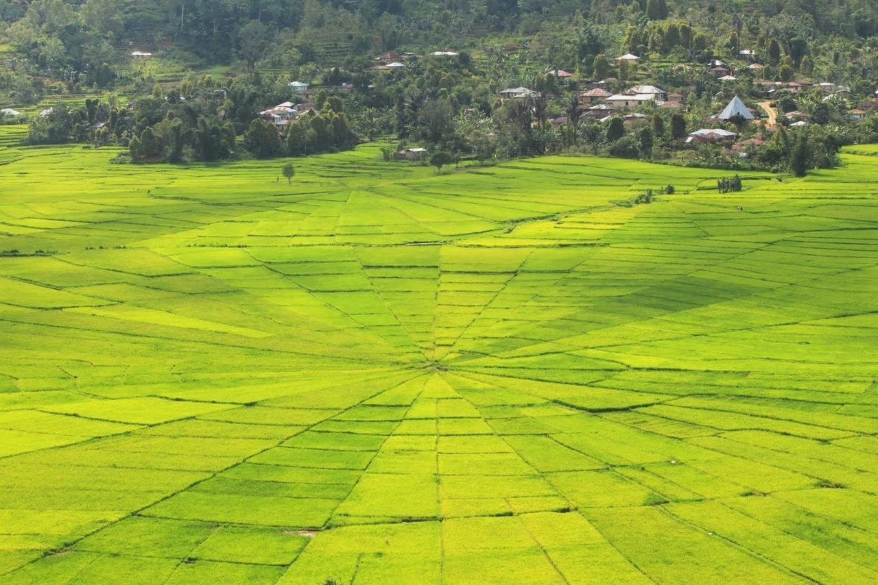Sawah Jaring Labalaba Pemandangan Unik di Nusa Tenggara
