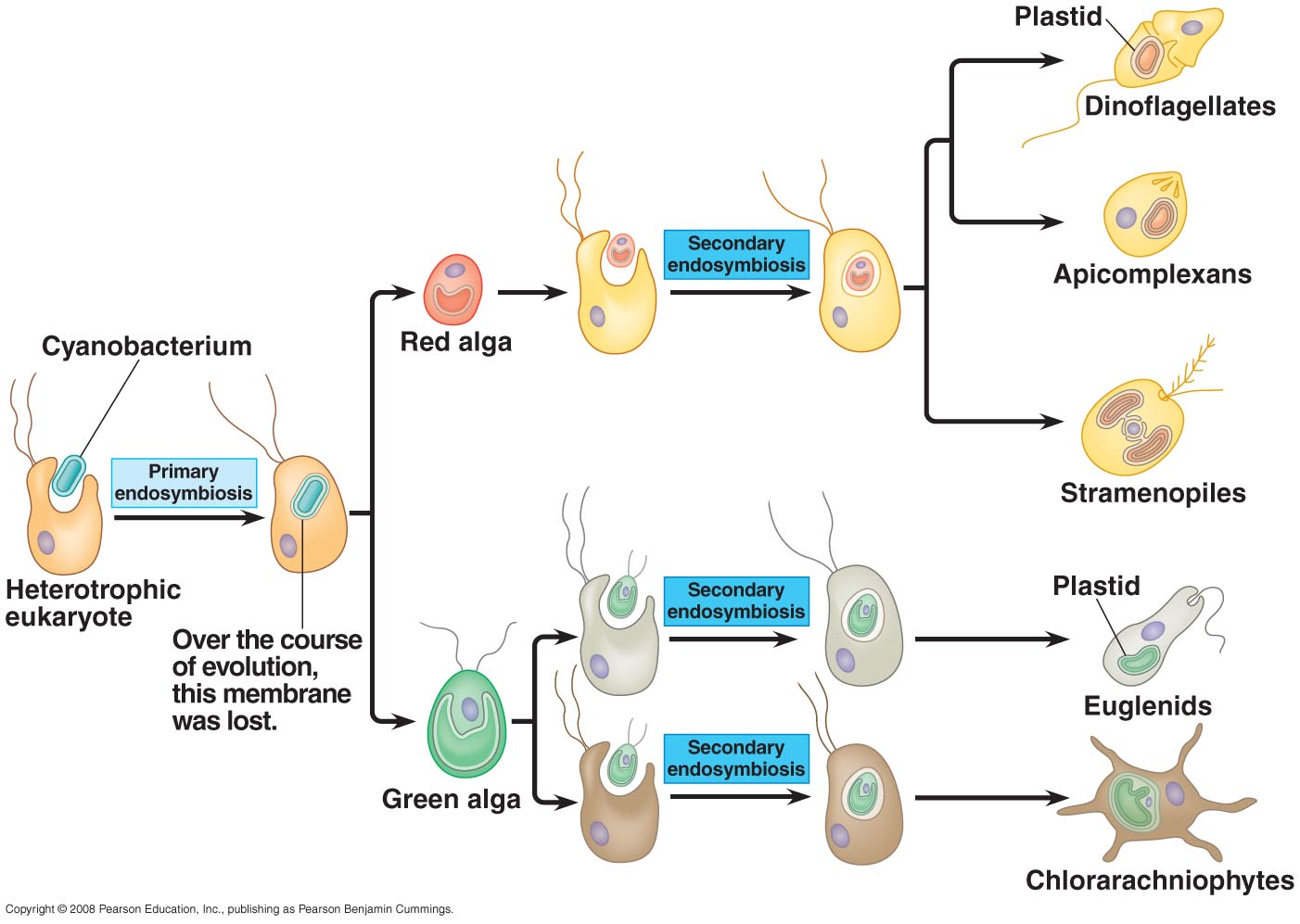 hight resolution of animal and protist diagram