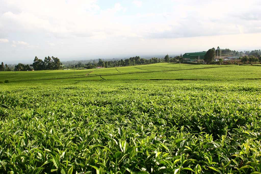 Zöld tea kapszula fogyás. Herbalife malajzia fogyókúra tea