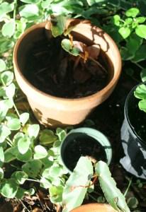In the Garden, dragonwing begonia