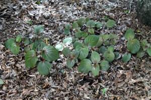 In the Garden, creeping bellflower