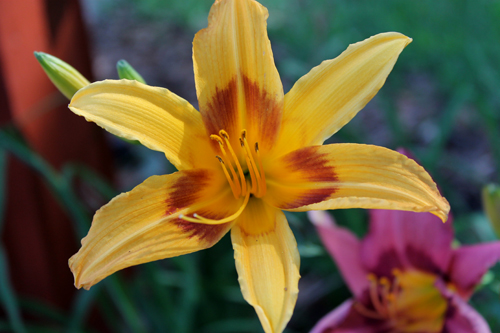 In the Garden, Daylily