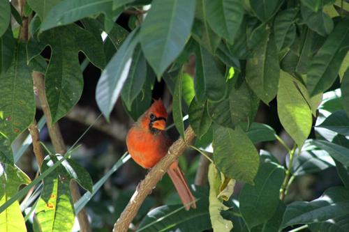 Cardinal, in the Garden