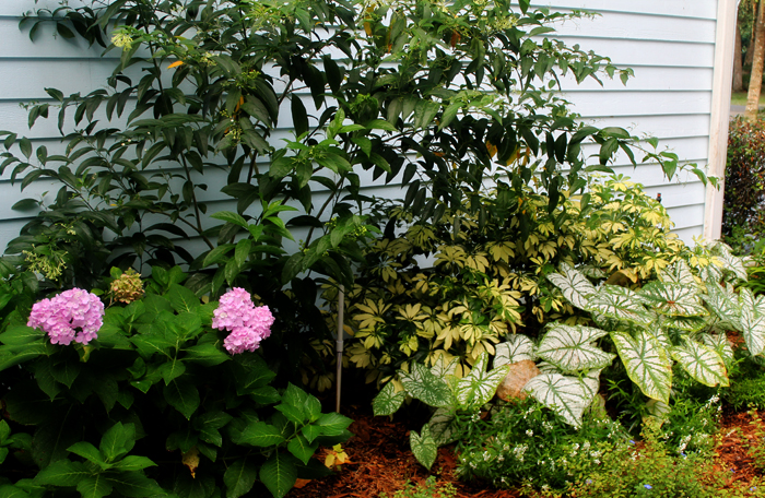 Nightblooming jasmine with caladiums and hydrangeas