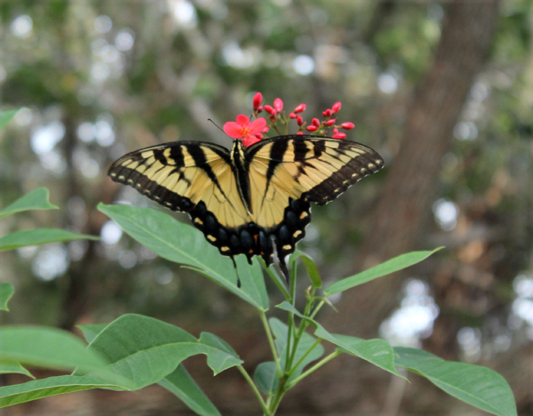 Butterfly in my back yard