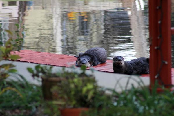 Otters enjoying the kayak dock