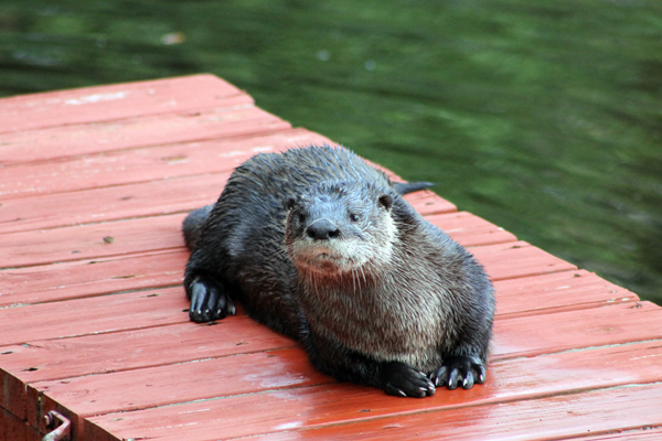 Otter on the kayak dock