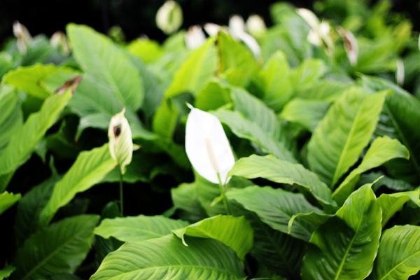 Peace Lilies