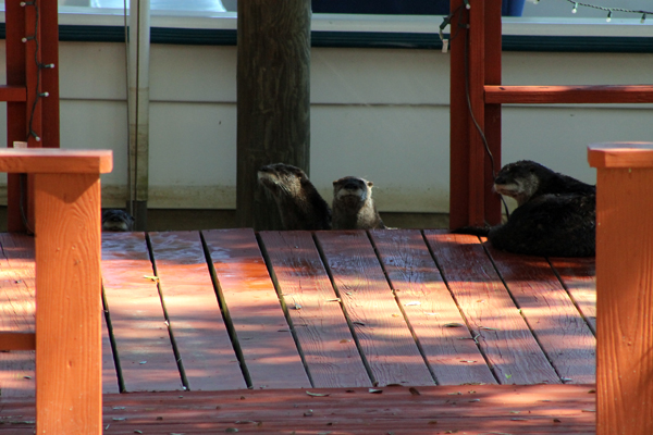 Otters catching the rays