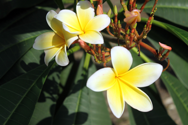 In the Garden -- Plumerias