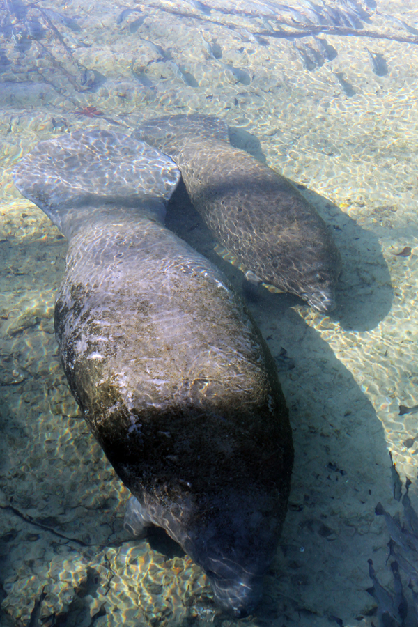 Manatees waiting to get in