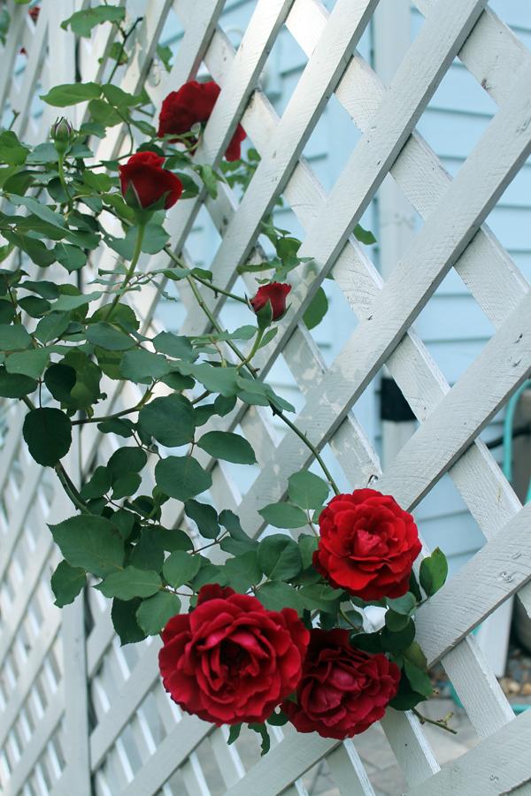 Don Juan Roses
