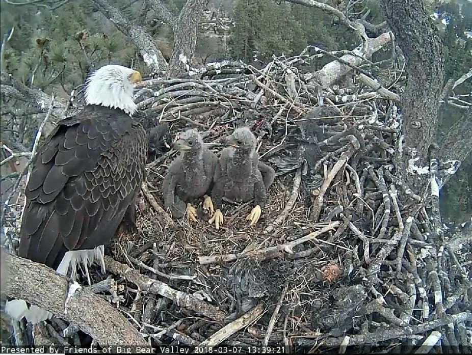 A bald eagle and two recently hatched chicks are shown in a photo provided by the San Bernardino National Forest on March 10, 2018.