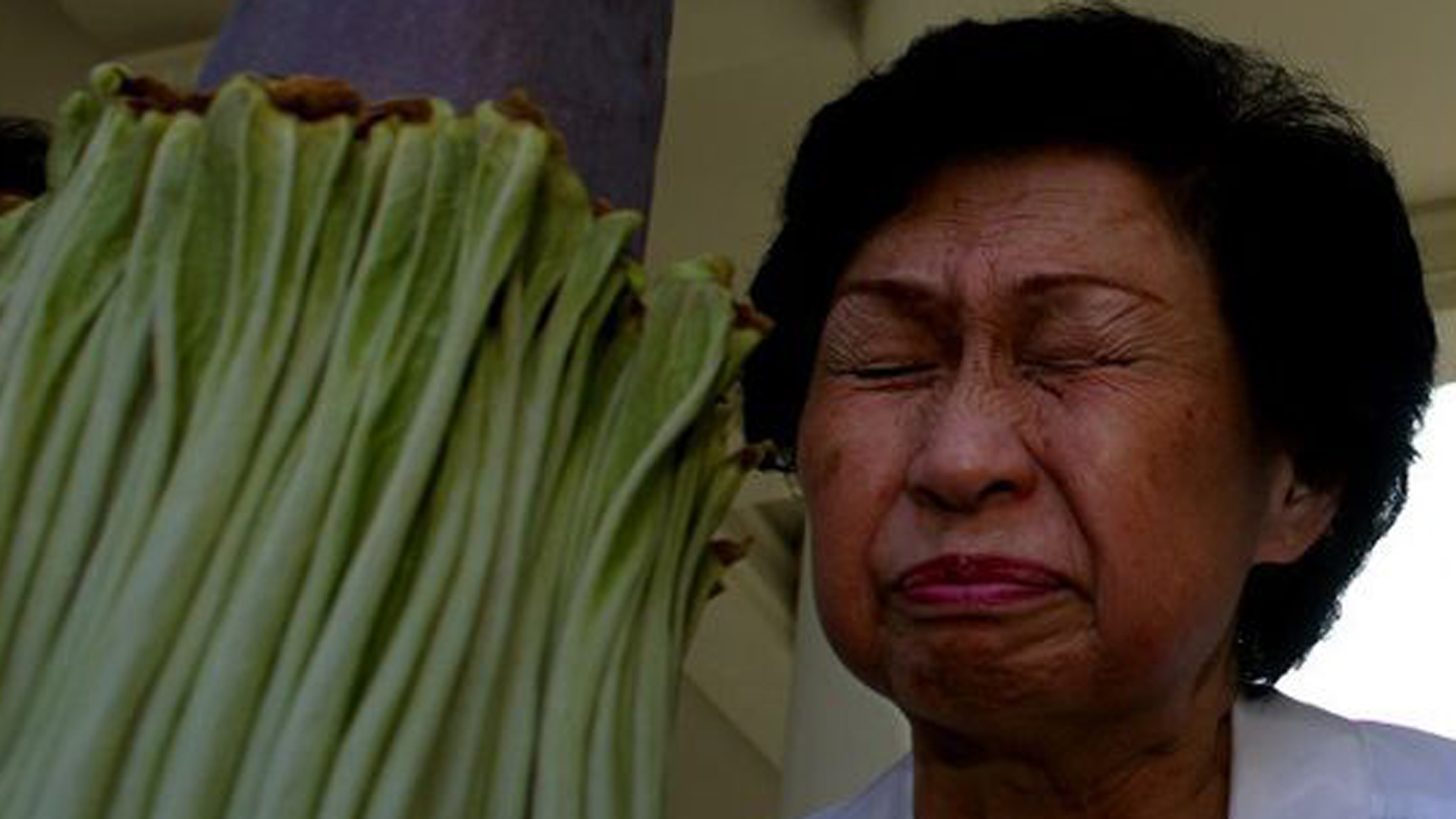 """Connie Louie smells the Amorphophallus titanum — """"corpse flower"""" — at the Huntington Library gardens in August 2002. (Credit: Francine Orr / Los Angeles Times)"""
