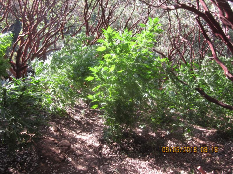 The National Park Service released this image on Sept. 7, 2018 of marijuana plants found at the Sequoia National Park.