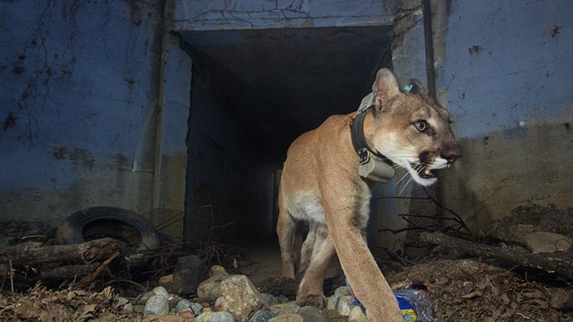 "P-64, also known as the ""Culvert Cat,"" is seen in a photo released by the National Park Service."