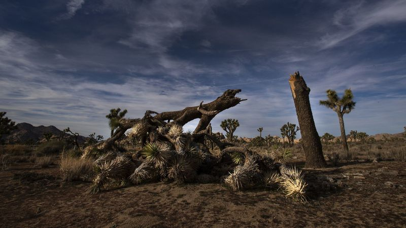 A January 2019 image shows a once vibrant Joshua tree severed in an apparent act of vandalism at Joshua Tree National Park.(Credit: Gina Ferazzi / Los Angeles Times)