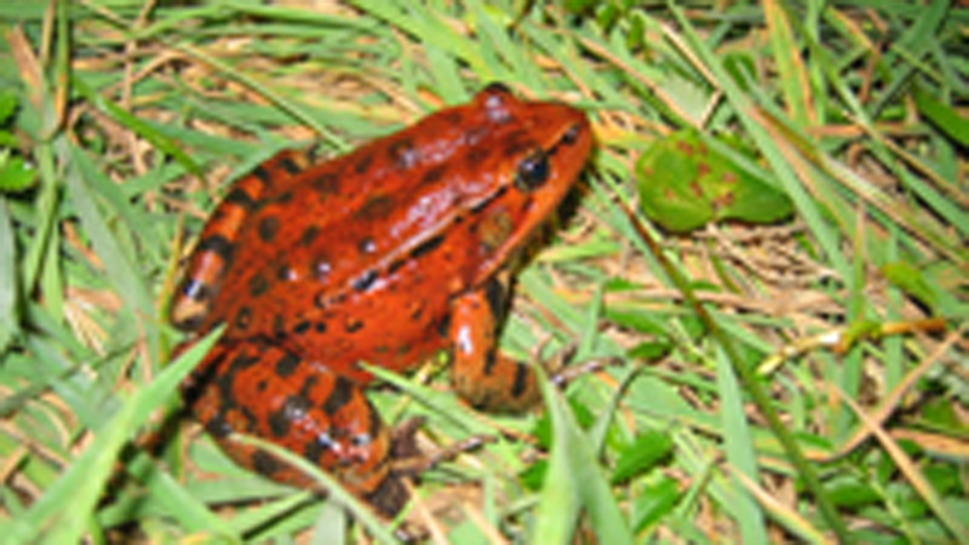 The California red-legged frog is seen in an undated photo.(Credit: Jamie Bettaso/ U.S. Fish and Wildlife)