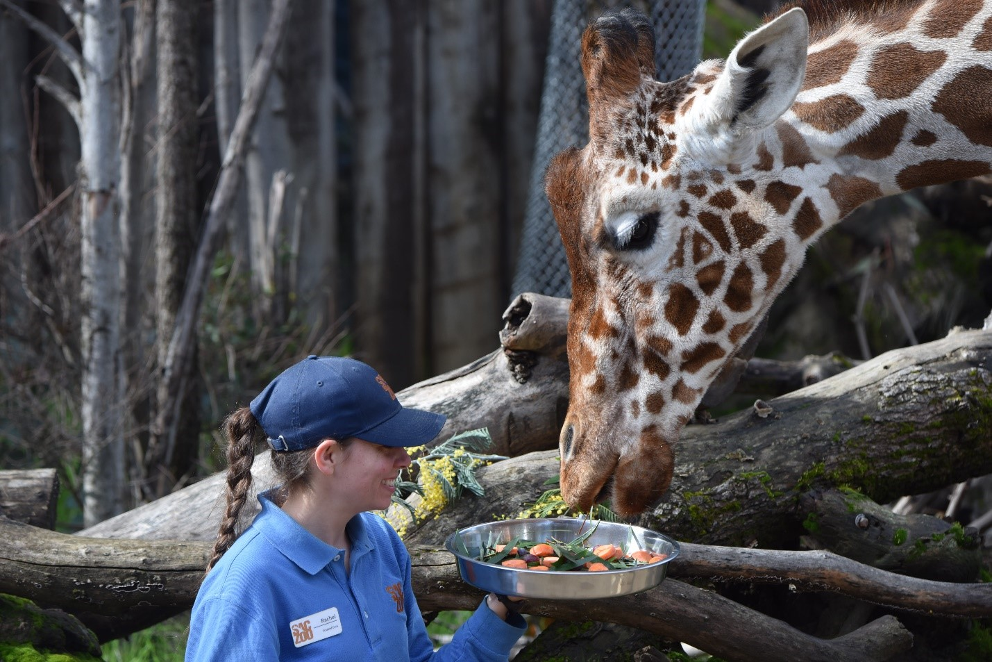 Val the giraffe is seen in a photo shared by the Sacramento Zoo on Facebook on Aug. 10, 2019.