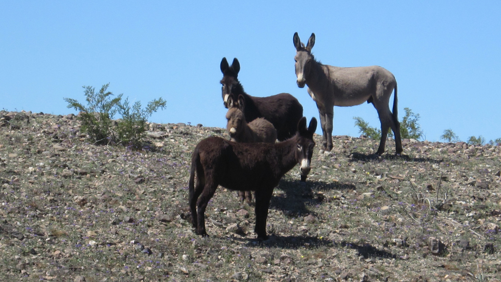 Wild burros are seen in an undated photo released by the Bureau of Land Management.