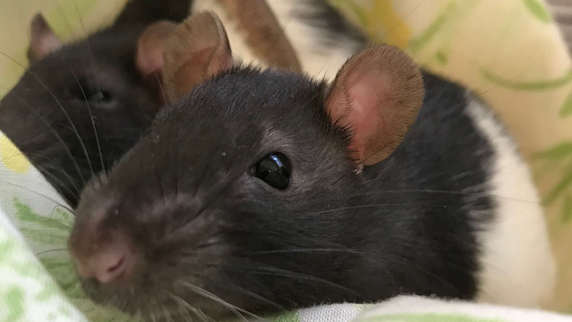 A rat at the San Diego Humane Society appears in a photo released by the organization on Oct. 17, 2019.
