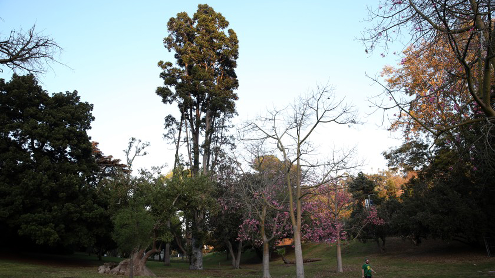 You can see examples of some of L.A.'s oldest trees at the arboretum in Elysian Park. As the city embarks on a plan to plant 90,000 new trees in the city, residents can pick species for their yard and for their street.(Credit: Dania Maxwell / Los Angeles Times)