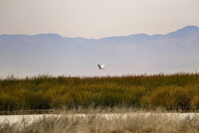 Lush marshlands that are homes for endangered birds and fish at the outlets of agricultural and urban runoff that used to flow directly into the Salton Sea. (Credit: Irfan Khan / Los Angeles Times)