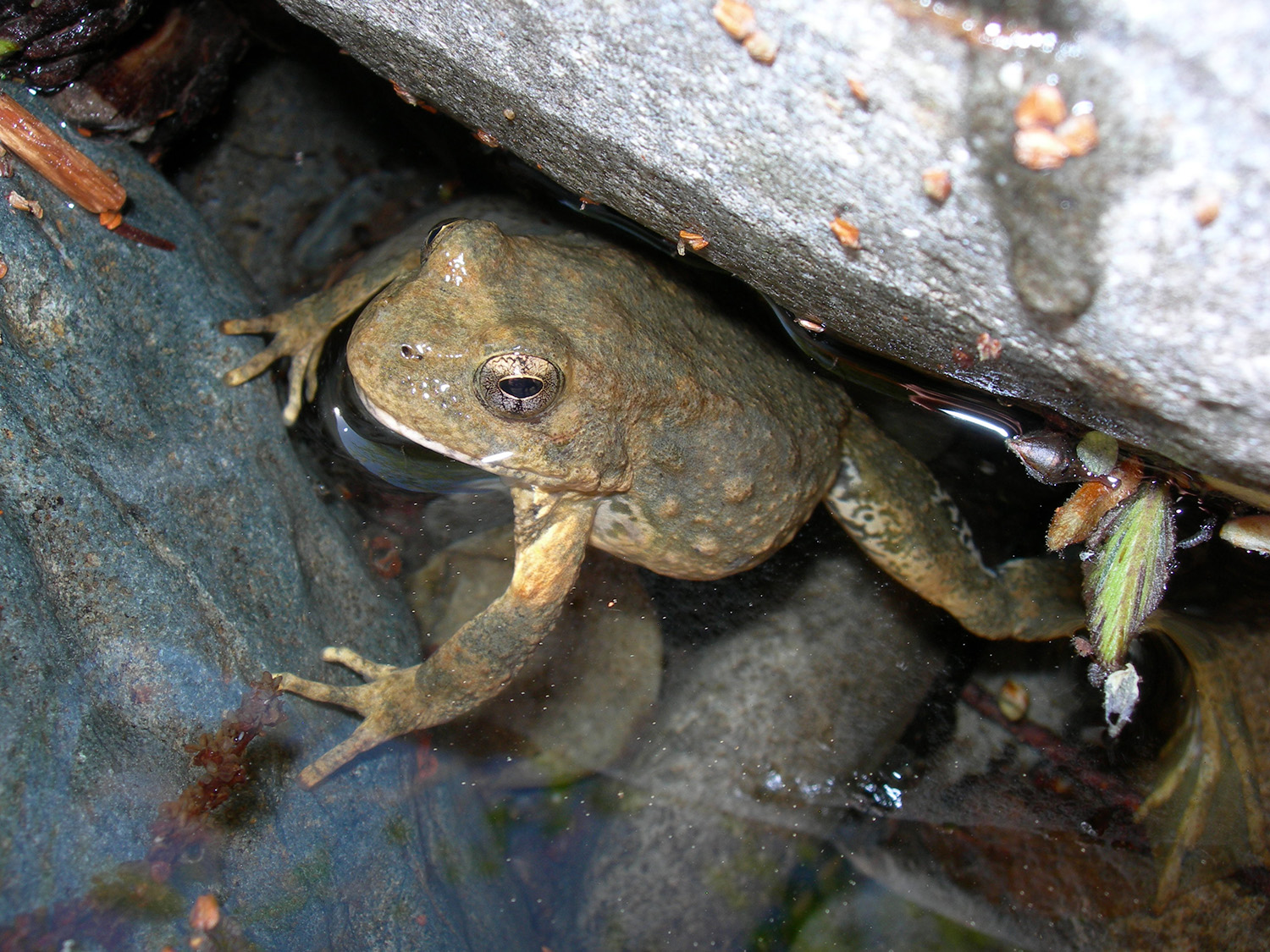 A foothill yellow-legged frog is seen in an undated photo provided by the Center for Biological Diversity.