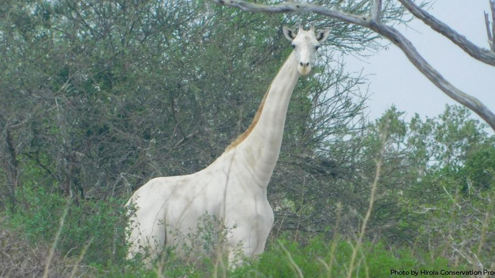 A white giraffe is seen in a photo tweeted by the Hirola Conservation Programme.
