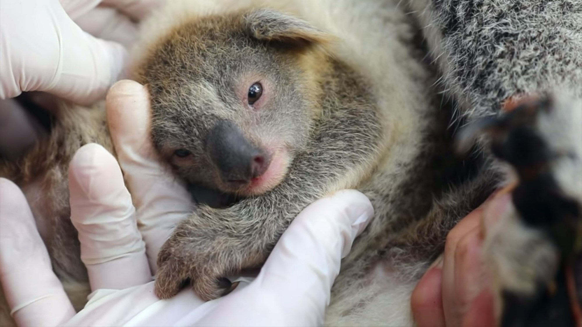 A koala is seen in a photo posted to the Australian Reptile Park's Facebook page in May 2020.