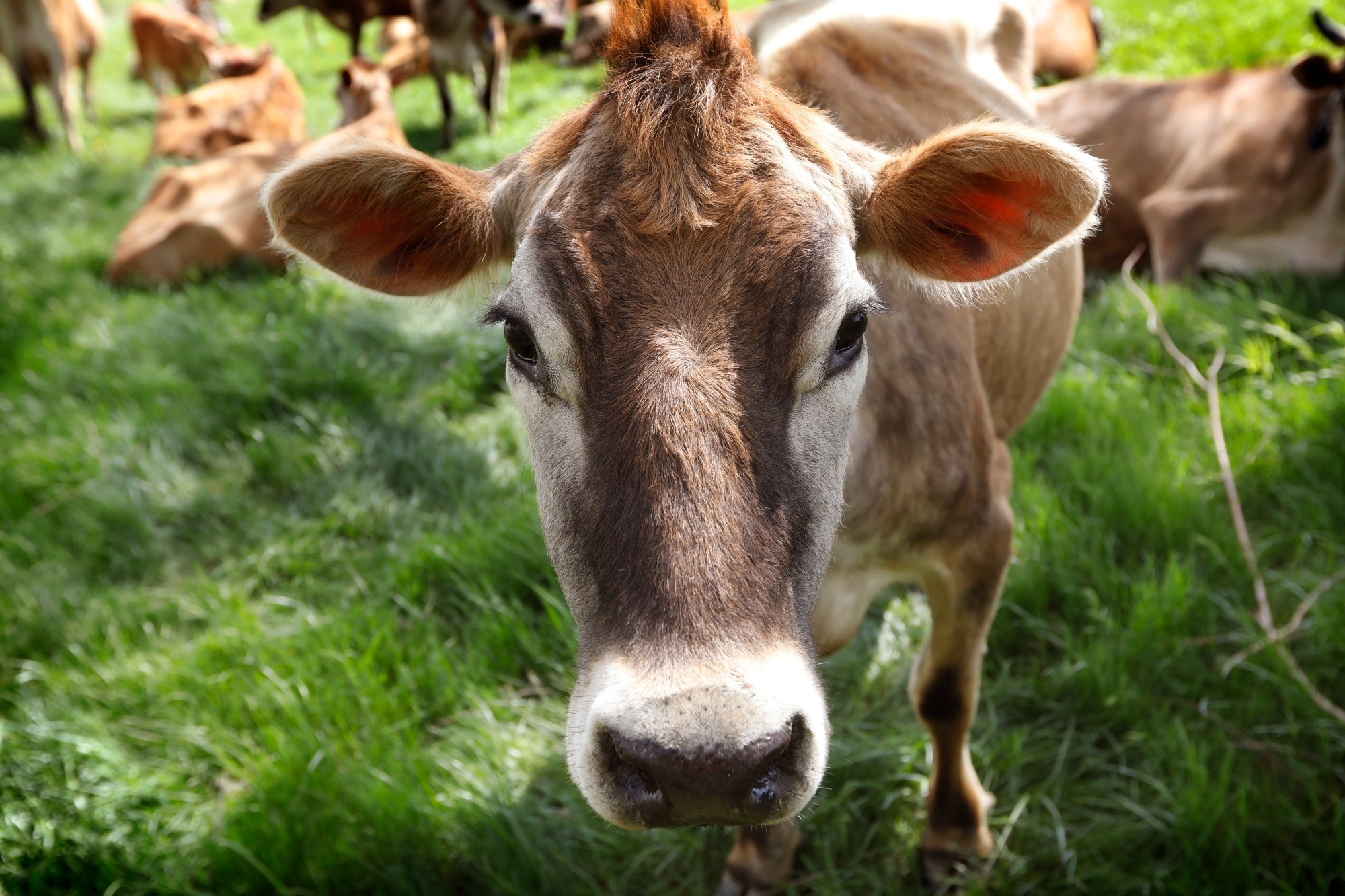 In this May 8, 2018 file photo, a cow feeds in a field on the Francis Thicke organic dairy farm in Fairfield, Iowa. (AP Photo/Charlie Neibergall, File)