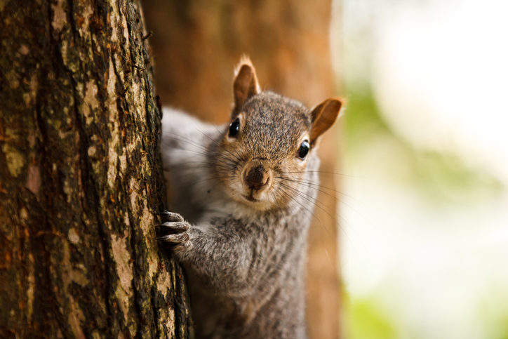 A squirrel is seen in a file photo. (Getty Image)