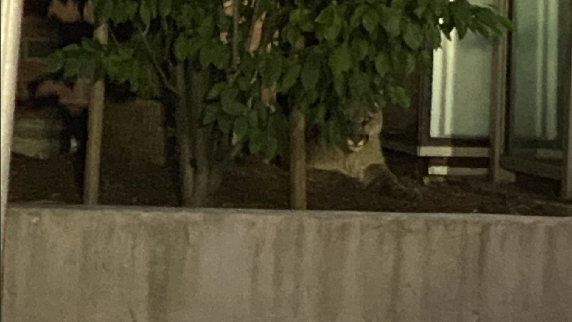 A mountain lion captured near Oracle Park in San Francisco on June 18, 2020. (San Francisco Police Department)