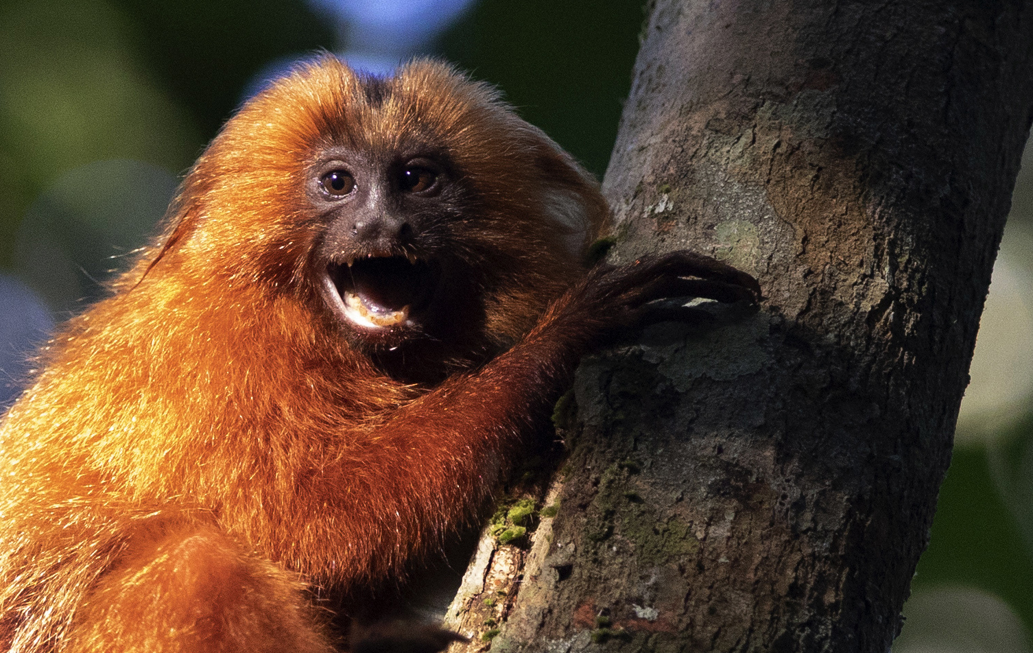 A Golden Lion Tamarin holds on to a tree in the Atlantic Forest region of Silva Jardim in Rio de Janeiro, Brazil on Aug. 6, 2020. (AP Photo/Silvia Izquierdo)