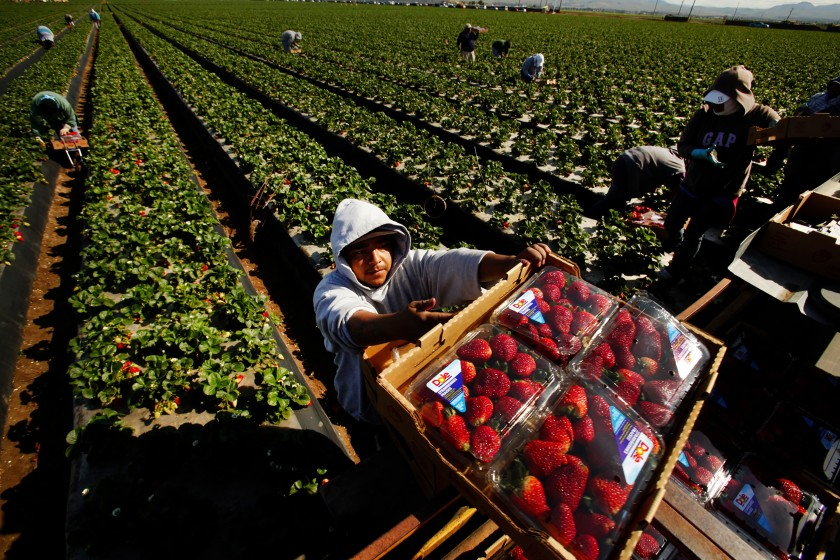 Workers pick strawberries in Santa Maria in this undated photo. (Al Seib / Los Angeles Times)