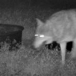 Rare gray wolf captured on video in Kern County, the southernmost California sighting in decades 💥👩👩💥