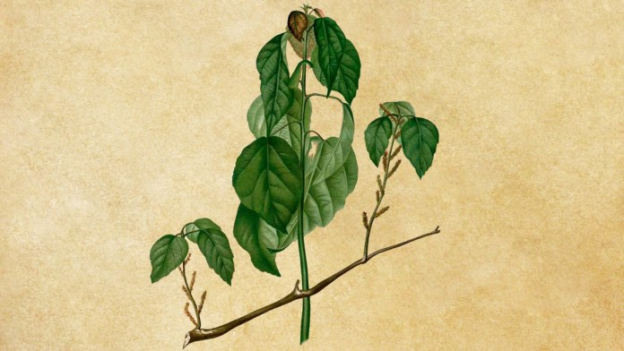 Alchornea cordifolia jako ziołowy antybiotyk o działaniu ogólnoustrojowym